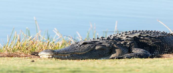 8 animal encounters you could face on the golf course